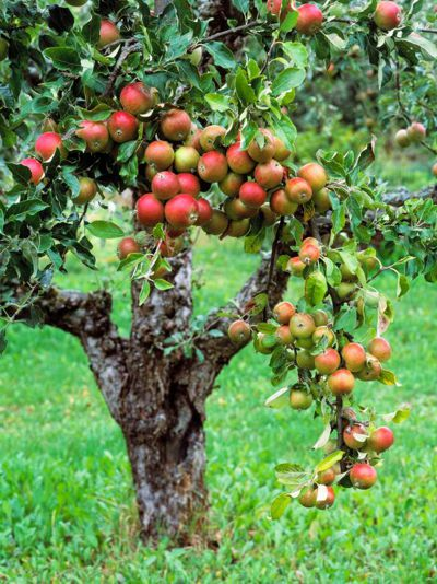 Healthy Apple Tree