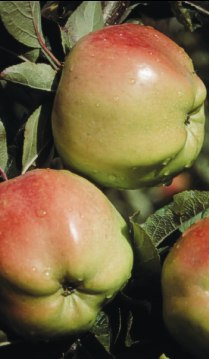 Discover unusual varieties like Calville Blanc at a community orchard specializing in heirloom apples. Photo by Michael Phillips.
