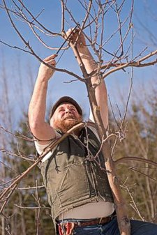 Michael Phillips, organic orchardist, pruning an apple tree.
