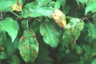 Rust lesions are scattered randomly on the apple leaf. Photo courtesy of NY Agricultural Experiment Station.