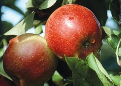 Healthy apples like Arlet (known also as Swiss Gourmet) will be tree-ripened to perfection at a community orchard near you.