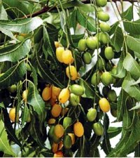 The cold-pressed oil of neem seeds contains over a 100 active constituents. Photo courtesy of Plasma Power.