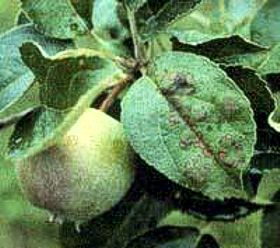 DEVELOPMENT OF AN INTEGRATED AND BIOLOGICAL FRUIT …